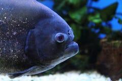 μεγάλο piranha λεπτομέρειας Στοκ Φωτογραφίες