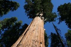 μεγάλο sequoia Στοκ Εικόνες