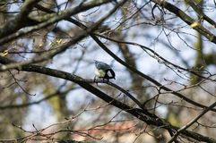 Μεγάλο Songbird tit άγρυπνο σε έναν κλαδίσκο στοκ εικόνες