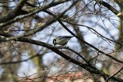 Μεγάλο Songbird tit άγρυπνο σε έναν κλαδίσκο στοκ φωτογραφίες
