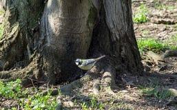 Μεγάλο Songbird tit άγρυπνο σε μια ρίζα στοκ φωτογραφία με δικαίωμα ελεύθερης χρήσης