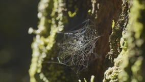 Μεγάλο spiderweb, σε ένα δέντρο, στη δροσιά πρωινού, με το φυσικό υπόβαθρο, πολύ στερεός ιστός αράχνης Στοκ Εικόνες