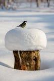 Μεγάλο tit καλυμμένο στο χιόνι κολόβωμα δέντρων Στοκ Εικόνες