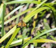 Μεγάλο venatus Ochlodes πεταλούδων πλοιάρχων στους καλάμους στον ποταμό κοιλάδων Combe στο ανατολικό Σάσσεξ, Αγγλία στοκ εικόνα με δικαίωμα ελεύθερης χρήσης