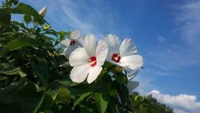 Μεγάλα άσπρα λουλούδια σε έναν κήπο ενάντια σε έναν μπλε ουρανό με την κινηματογράφηση σε πρώτο πλάνο σύννεφων Στοκ Εικόνες