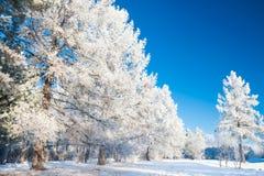 Μεγάλα δέντρα πεύκων με το hoarfrost ενάντια στο μπλε ουρανό Στοκ φωτογραφία με δικαίωμα ελεύθερης χρήσης