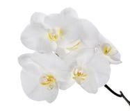 Μεγάλα απομονωμένα λευκό λουλούδια ορχιδεών στον κλάδο Στοκ Φωτογραφίες