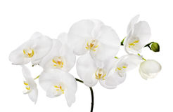 Μεγάλα απομονωμένα λευκό λουλούδια ορχιδεών στον κλάδο Στοκ φωτογραφία με δικαίωμα ελεύθερης χρήσης