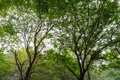 Μεγάλα δασικά δέντρα φύσης Στοκ Εικόνες
