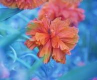 Μεγάλα ερυθρά διακοσμητικά λουλούδια παπαρουνών Στοκ Φωτογραφία