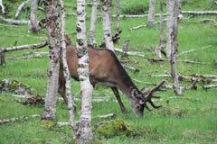 Μεγάλα ελάφια whitetail buck στα ξύλα Στοκ εικόνα με δικαίωμα ελεύθερης χρήσης