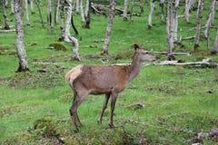 Μεγάλα ελάφια whitetail buck στα ξύλα Στοκ εικόνες με δικαίωμα ελεύθερης χρήσης