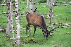 Μεγάλα ελάφια whitetail buck στα ξύλα Στοκ φωτογραφία με δικαίωμα ελεύθερης χρήσης