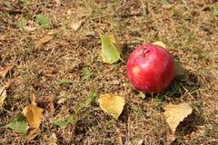 Μεγάλα κόκκινα φύλλα μήλων και φθινοπώρου στη χλόη Στοκ Εικόνες