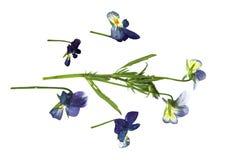 Μεγάλα μπλε και άσπρα λουλούδια που πιέζονται Στοκ Εικόνα