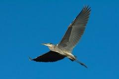 Μεγάλα μπλε φτερά ερωδιών έξω Στοκ Φωτογραφίες