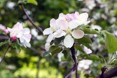 Μεγάλα λουλούδια ενός δέντρου μηλιάς σε μια κινηματογράφηση σε πρώτο πλάνο πάρκων πόλεων Στοκ Φωτογραφία