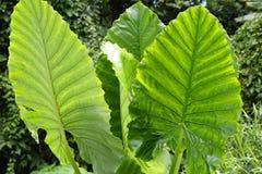 Μεγάλα πράσινα τροπικά φύλλα Στοκ Εικόνες