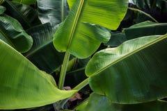 Μεγάλα πράσινα φύλλα μπανανών στην Ασία Στοκ Εικόνα