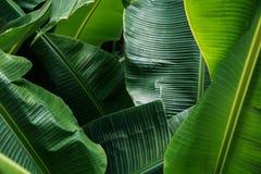 Μεγάλα πράσινα φύλλα μπανανών στην Ασία Στοκ εικόνα με δικαίωμα ελεύθερης χρήσης