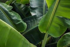 Μεγάλα πράσινα φύλλα μπανανών στην Ασία Στοκ φωτογραφίες με δικαίωμα ελεύθερης χρήσης