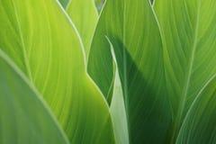 Μεγάλα πράσινα φύλλα, υπόβαθρο Στοκ Εικόνες
