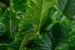 Μεγάλα πράσινα φύλλα Araceae Στοκ Φωτογραφία