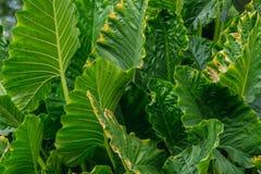 Μεγάλα πράσινα φύλλα Araceae Στοκ φωτογραφία με δικαίωμα ελεύθερης χρήσης
