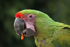 Μεγάλα πράσινα macaw & x28 Ara ambiguus& x29  Στοκ εικόνα με δικαίωμα ελεύθερης χρήσης