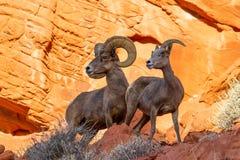 Μεγάλα πρόβατα κέρατων ερήμων στον κόκκινο βράχο Στοκ Φωτογραφίες