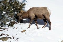 Μεγάλα πρόβατα κέρατων που ταΐζουν στο χιόνι Στοκ Φωτογραφία