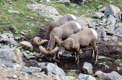 μεγάλα πρόβατα κέρατων Στοκ φωτογραφίες με δικαίωμα ελεύθερης χρήσης