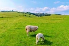 Μεγάλα πρόβατα με λίγο αρνί Στοκ φωτογραφίες με δικαίωμα ελεύθερης χρήσης
