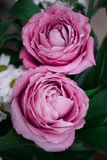 Μεγάλα ρόδινα τριαντάφυλλα με τις πτώσεις στα πέταλα Στοκ φωτογραφίες με δικαίωμα ελεύθερης χρήσης