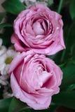 Μεγάλα ρόδινα τριαντάφυλλα σε ένα σκοτεινό υπόβαθρο Στοκ εικόνες με δικαίωμα ελεύθερης χρήσης