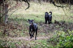 Μεγάλα σκυλιά υπαίθρια Στοκ εικόνα με δικαίωμα ελεύθερης χρήσης