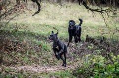 Μεγάλα σκυλιά υπαίθρια Στοκ Εικόνες