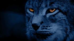 Μεγάλα λυγξ γατών τη νύχτα με τα καμμένος μάτια φιλμ μικρού μήκους