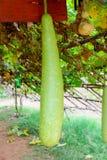 Μεγάλα φρέσκα κολοκύθια στον κήπο Στοκ εικόνες με δικαίωμα ελεύθερης χρήσης
