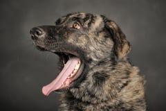 Μεγάλα χασμουρητά σκυλιών Στοκ Φωτογραφία