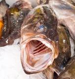 Μεγάλα ψάρια με το τεράστιο ανοικτό στόμα στοκ εικόνες