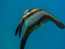μεγάλα ψάρια πεταλούδων στη θάλασσα στοκ εικόνα με δικαίωμα ελεύθερης χρήσης
