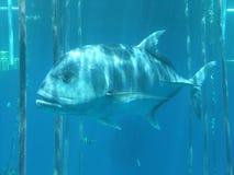 Μεγάλα ψάρια που κολυμπούν μεταξύ των καλάμων Στοκ Φωτογραφία