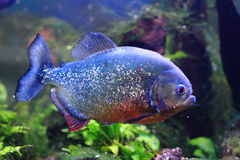 μεγάλα ψάρια piranha Στοκ Φωτογραφίες