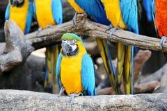 Μεγάλα όμορφα macaws Στοκ Εικόνες