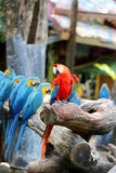 Μεγάλα όμορφα macaws Στοκ φωτογραφία με δικαίωμα ελεύθερης χρήσης