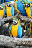 Μεγάλα όμορφα macaws Στοκ εικόνα με δικαίωμα ελεύθερης χρήσης