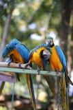 Μεγάλα όμορφα macaws Στοκ Φωτογραφία