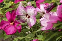 Διαφορετικά χρώματα Hibiscus Στοκ Εικόνες
