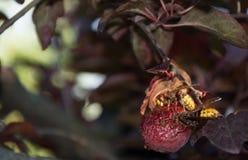Μεγάλα hornets στοκ εικόνα με δικαίωμα ελεύθερης χρήσης